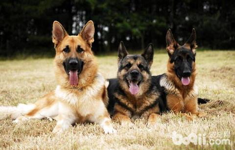 弓背犬性格怎么样?弓背犬的性格特点-狗狗品种
